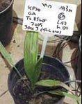Date palm sapling