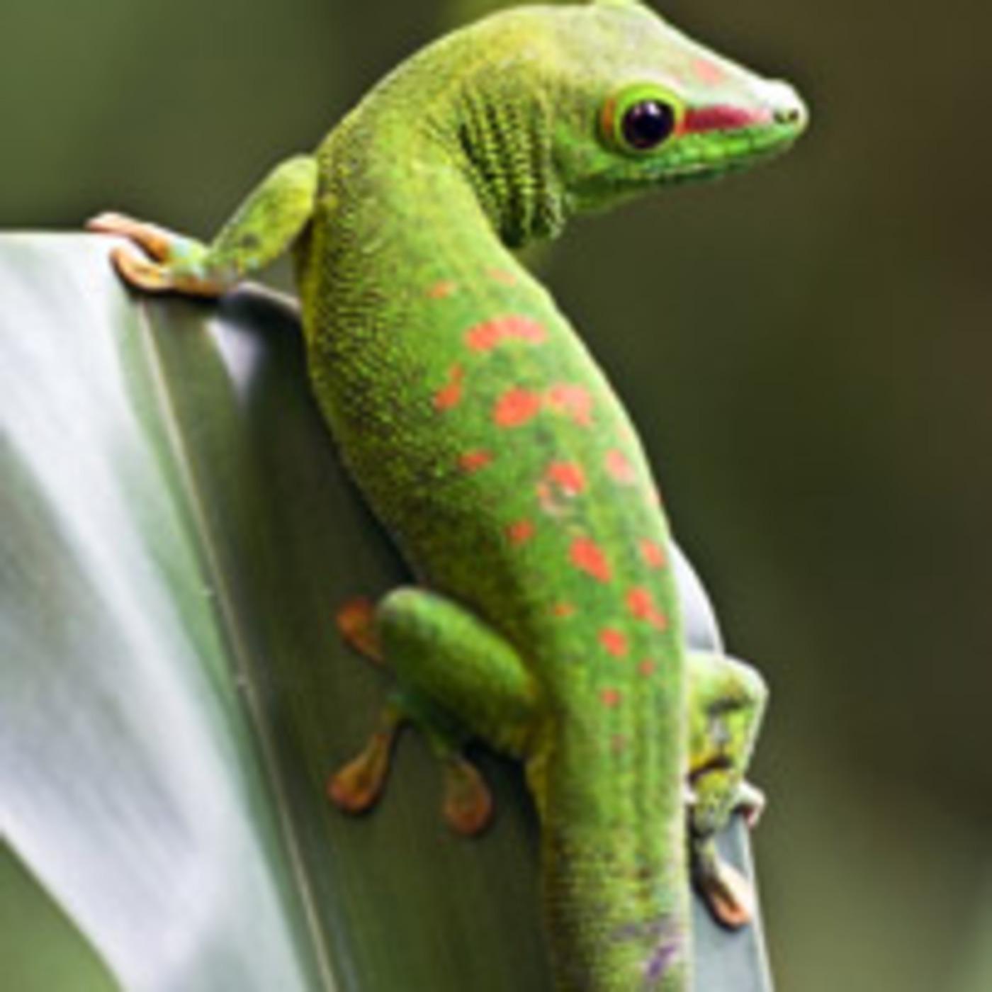 Culture Gecko
