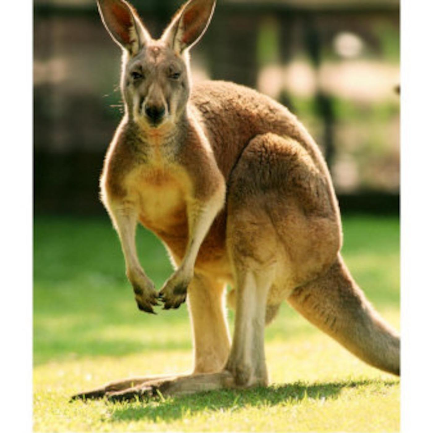 Сколько у кенгуру вагин 31 фотография